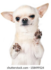 angry chihuahua standing with paws up