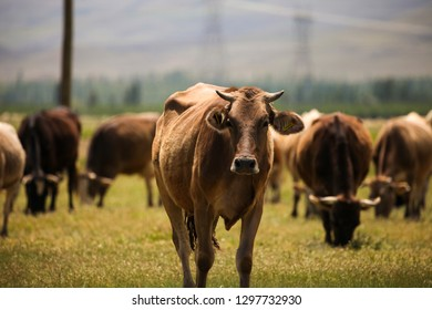 Angry Cow Stock Photos, Images & Photography | Shutterstock