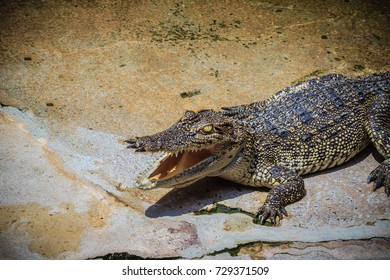 An angry crocodile is open jaws and ready to strike. A young crocodile is open mouth while resting at the farm. Commercial crocodile farming business is very profitable, but requires for 3 to 4 years.