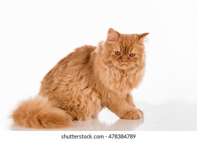 Angry and Curious British Longhair Cat Sitting on the white desk.