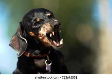 Angry dachshund growls teeth bared.