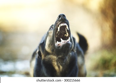 angry dangerous young german shepherd dog puppy barks and defefense background