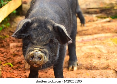 An angry dirty black pig in the jungle of the Nepal