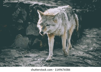 angry and dirty wolf