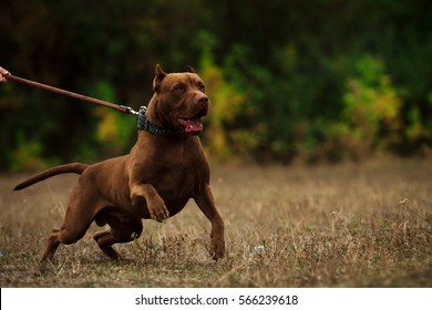 Pitbull Attack Images, Stock Photos & Vectors | Shutterstock