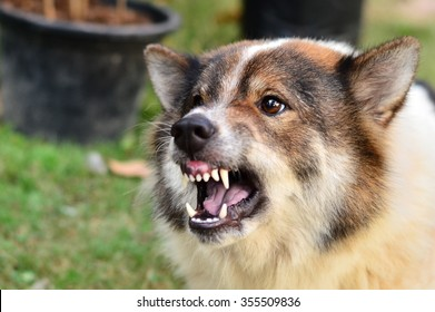 Angry dog. Dog is attacking