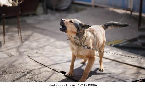 chien en colère avec des dents aboyées. chien garde la maison
