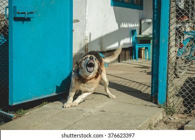 angry dog, Barking enraged dog at home.