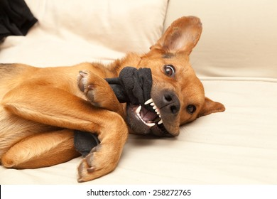 Angry dog chewing a sock