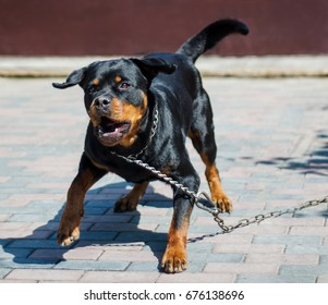 Angry Rottweiler Images, Stock Photos & Vectors | Shutterstock