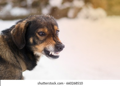 "Angry  dog shows teeth. Pets. Wicked aggressive dog. Angry dangerous  dog protection barking attacks. ""best friend"" , Enraged aggressive, angry dog. Grin jaws with fangs , hungry, drool."