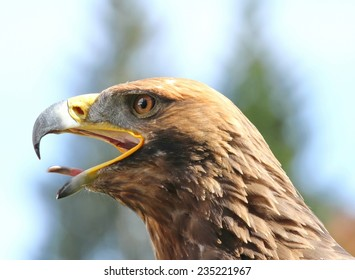 angry Eagle with open beak and tongue out