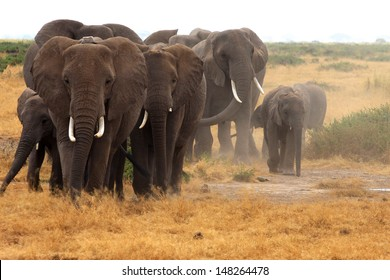 Angry elephant herd coming towards us in Amboseli National Park