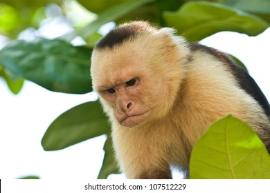 Angry emotions on capuchin monkey's face