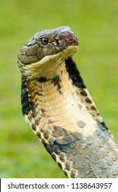 Angry face of The King Cobra