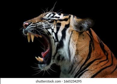 Angry face of sumatran tiger, animal angry, head of tiger sumatera closeup with black background