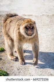Angry faced Gibraltar Monkey coming
