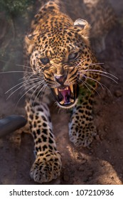 an angry female cheetah/crawling leopard/africa safari park