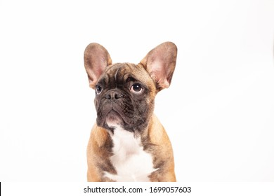 An Angry French Bulldog Puppy