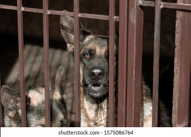 Angry German shepherd in the aviary. Guard dog growls in a cage
