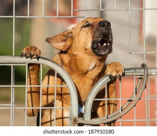 Angry german Shepherd cross breed security dog barking a warning from behind a wire fence