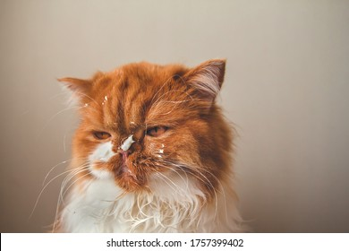 Angry ginger cat with a dirty face. Sour cream on the face of a cat.