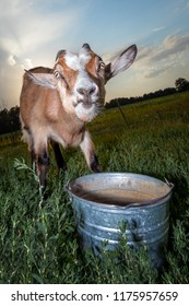 Angry goat in the evening and empty bucket