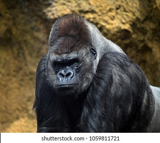 Angry gorilla in the jungle