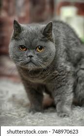 angry gray British cat