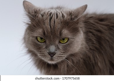 Angry gray cat with yellow eyes looks into the frame. on a white background