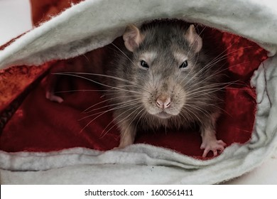 angry gray rats with narrowed eyes sits in cover looking at the camera