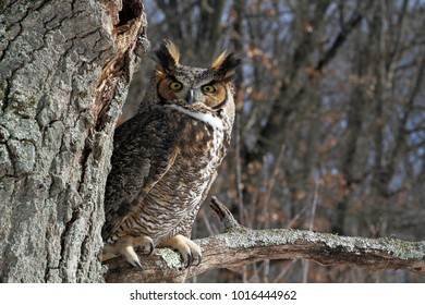 angry great horned own in branch
