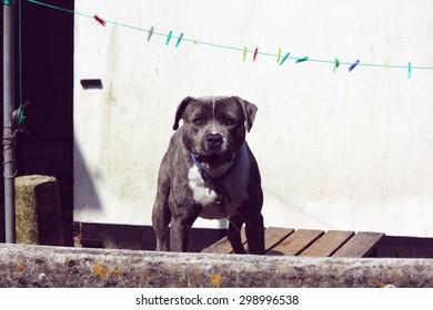 angry grey bulldog