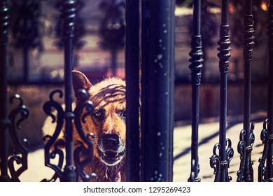 Angry guard dog. Watchdog outside the gates of the mansion