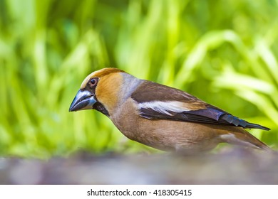Angry Hawfinch Hawfinch / Coccothraustes coccothraustes