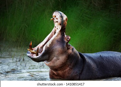 Angry hippopotamus displaying dominance in the water with a wide open mouth. Hippopotamus amphibius