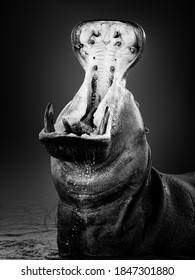 Angry hippopotamus or hippo displaying dominance in the water with a wide open mouth splashing water. Hippopotamus amphibius. Fine art. Black and white.