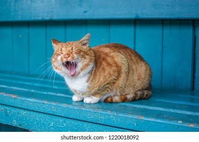Angry homeless ginger color cat sitting on the blue desk