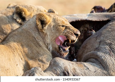 Angry and hungry lioness feed on the carcass of a dead rhino