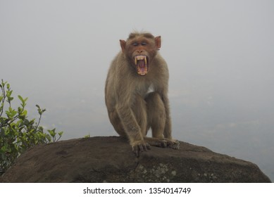 an angry indian male monkey