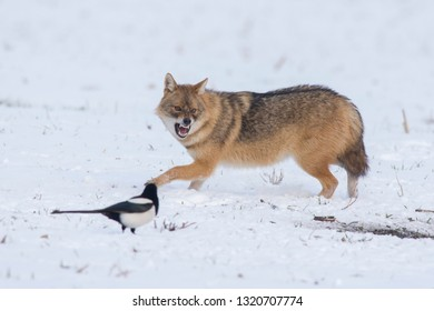 Angry jackal attacking birds in winter scene
