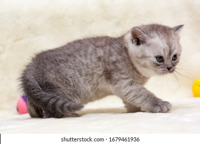 Angry kitten, gray smoky British young cat stands sideways in front of the camera