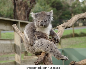 Angry koala that was awaken by visitors