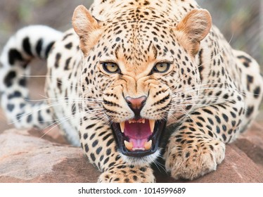 Angry leopard closeup