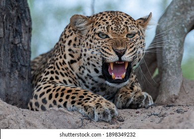 An angry Leopard seen snarling at a hyena on a safari in South Africa
