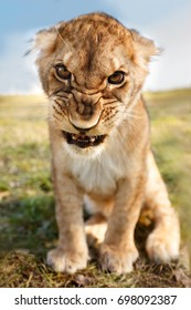 Angry lion cub looking in camera.