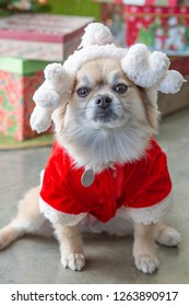 Angry little dog in a santa suit