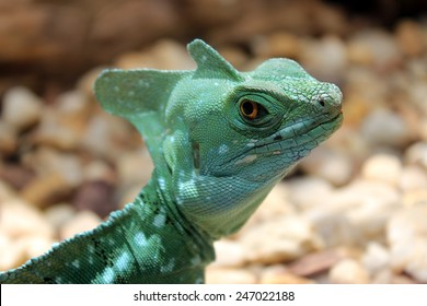 Angry Lizard Stare - Green Basilisk
