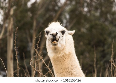 Angry llama showing teeth, aggressive alpaca, evil with ears back, protective and threatening animal