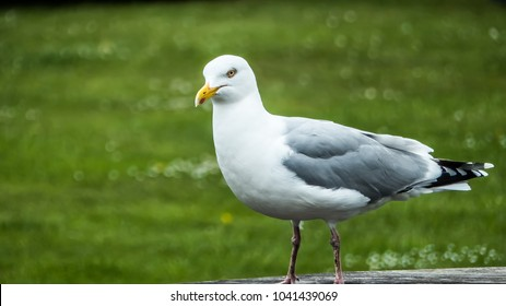 Angry Looking Seagull at Fishguard Bay